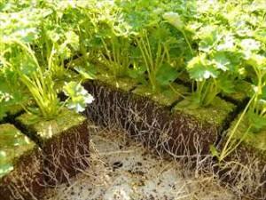 秋まき野菜の栽培方法や育て方は?収穫野菜を使用した簡単レシピは?